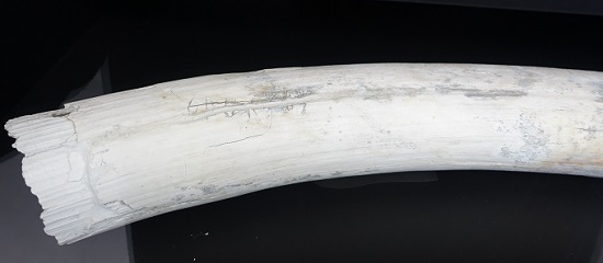 Ivory into which the owner apparently carved his name. Photo: KW.