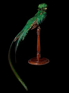 Quetzal bird (Pharomachrus mocinno), Guatemala, collected around 1923.