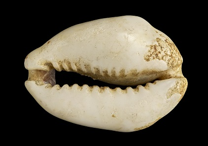 Cowrie Shell, 1st millennium BCE. © the Trustees of the British Museum