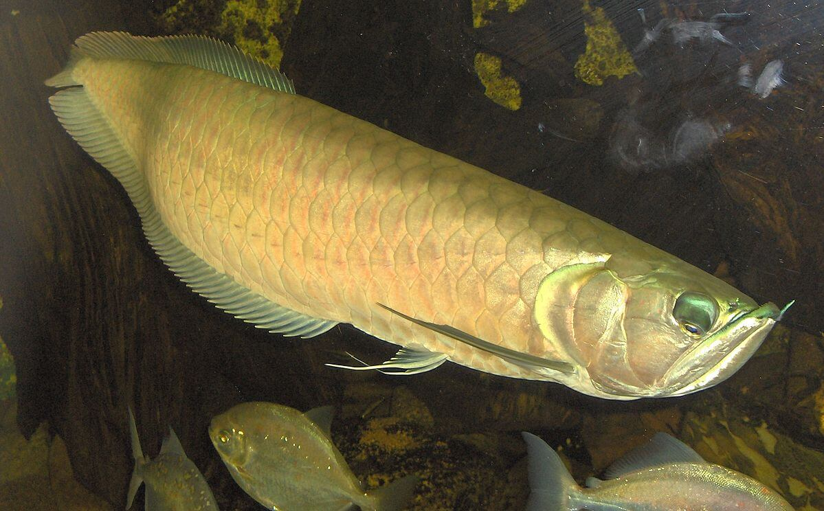 Gold dragon fish what natural anabolic steroid is produced by the body